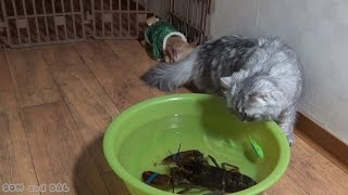 American Lobster VS Persian Cat