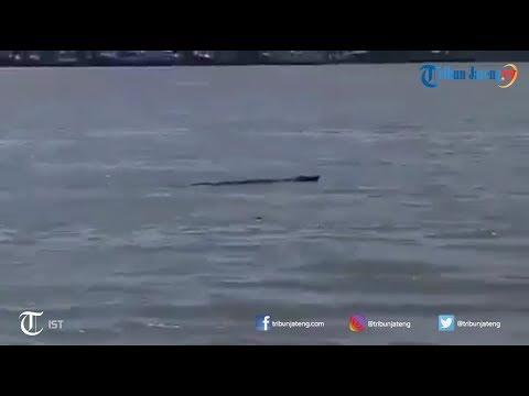 Heboh Buaya Berenang di Perairan kampung Laut Cilacap