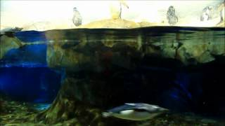 Macaroni and Gentoo Penguins at the Tennessee Aquarium in Chattanooga Penguins' Rock exhibit