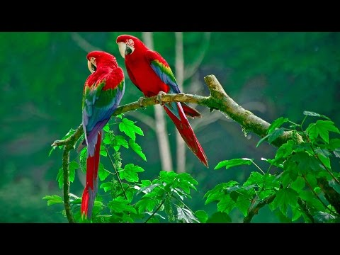 Documental Aves Exoticas 'LOROS'   Documentales de Animales Exoticos