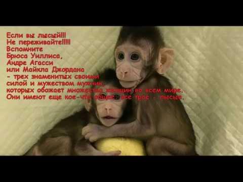 Самцы обезьян тоже лысеют.....