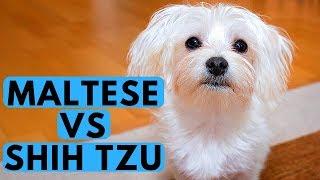 Shih Tzu Vs Maltese Difference