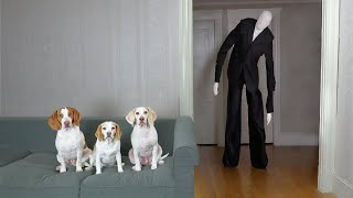 Slender Man vs. Dog Prank: Funny Dogs Maymo, Penny & Potpie befriend Slenderman Creepypasta
