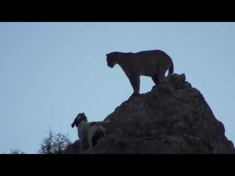 2019 Mountain Lion Hunt