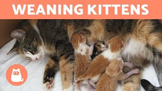 WEANING KITTENS - Both with Mother and Bottle Fed