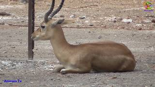 Chinkara/Indian Gazelle !