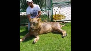 Dubai Prince playing with his pet lions Part 2