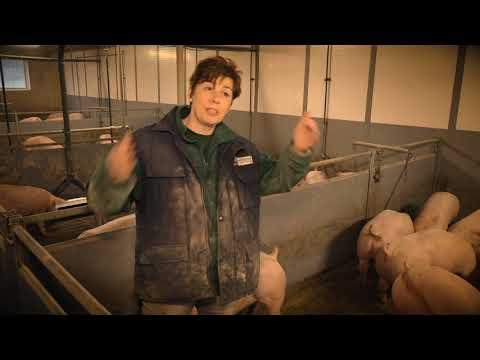 Schweinehaltung konventionell - Krankheitsvorbeugung