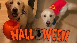 Super Cooper Sunday #35: Coop's First Halloween! (Golden Retriever Puppy)