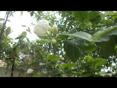 Video CURE CANCER :-Jasmine Herbal Tea