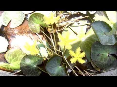 Nymphoides indica yellow  พรรณไม้น้ำหายาก