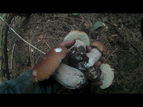 Збираємо Гриби в Карпатських Лісах.Собираем Грибы в карпатских лесах