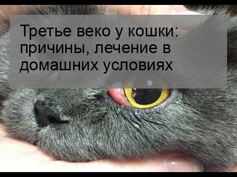 Третье веко у кошки: причины, лечение в домашних условиях