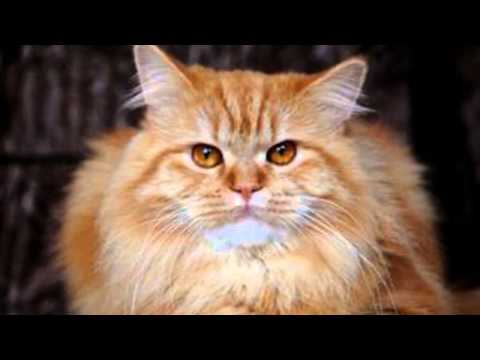 Video Treating Ear Mites In Cats - How To Get Rid Of Cat Ear Mites Naturally