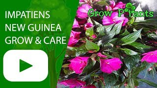 Impatiens New Guinea - grow and care (Impatiens hawkeri)