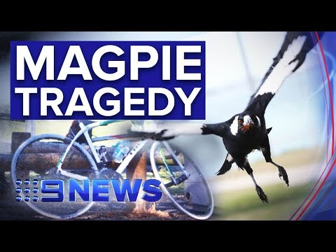 Cyclist dies after crashing trying to avoid swooping magpie | Nine News Australia