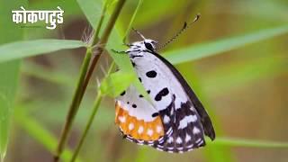 रत्नागिरीतील फुलपाखरांची मनमोहक रंगबिरंगी दुनिया….