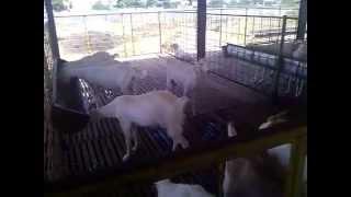 boer goat farming in tamilnadu - TH-Clip