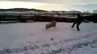 Вспомним легендарного барана Бориса / Crazy russian ram Boris