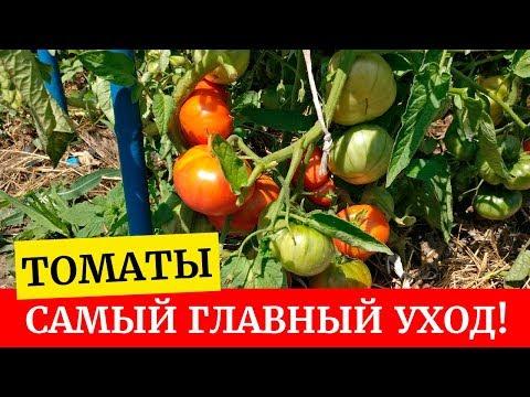 Как ухаживать за томатами во время плодоношения, подкормки, удобрение
