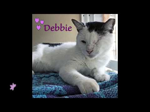 Debbie, an adoptable Domestic Short Hair in South Ozone Park, NY