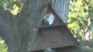 preview picture of video 'Barn Owl at RSPB Fowlmere - July 2014'
