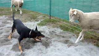 Ram tries to headbutt sheepdog