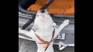 animale cainele cade pe spate