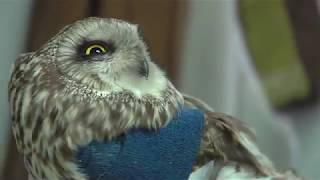 ILLINOIS ENDANGERED SHORT EARED OWL 6.3.18