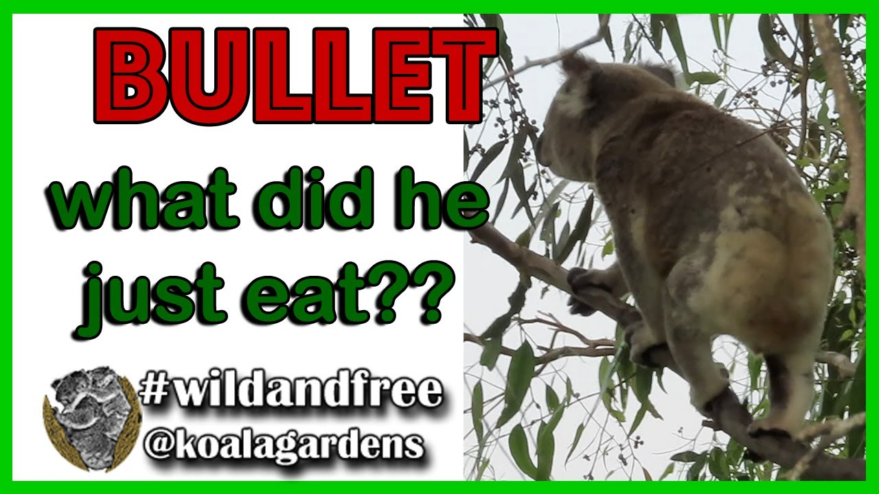 Bullet – what is that koala eating?