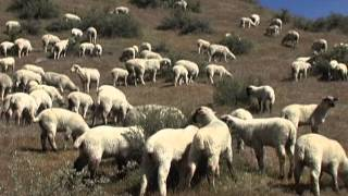 A Year in the Life of Raising Sheep in Idaho