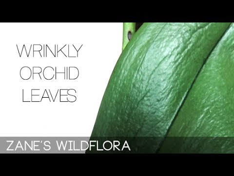 , title : 'Wrinkly Phalaenopsis Orchid Leaves - Problem & Solution