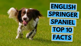 English Springer Spaniel - TOP 10 Interesting Facts