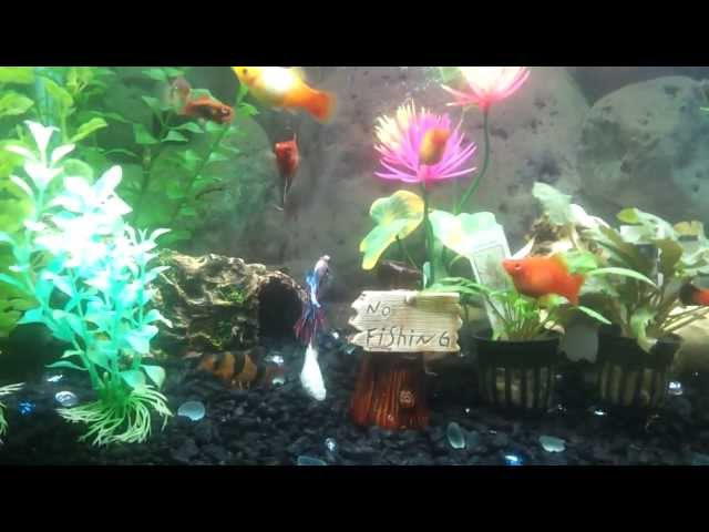 Betta Fish loves the 30g community tank with clown loaches