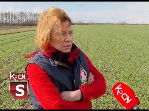Stanje useva pšenice