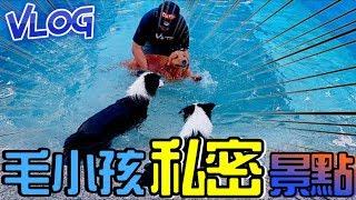 【阿杰】大白熊好大,我的小紅茶真的會游泳了 (紅茶Vlog)