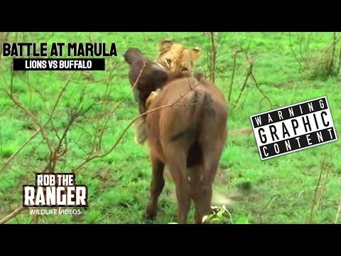 BATTLE AT MARULA (Lions vs Buffalo) (HD) letöltés