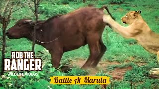 BATTLE AT MARULA (Lions vs Buffalo) (HD)