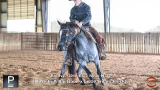 Blu Ivy 2016 Blue Roan Mare By Once In A Blue Boon