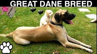 GREAT DANE BREED -All about The Great Dane - a tutorial by Cooking For Dogs
