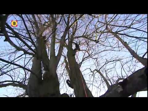 Restauratie van oudste boom van Nederland in Sambeek begonnen