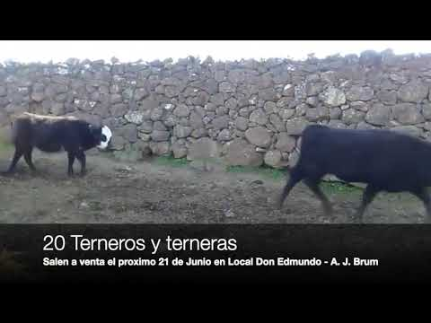 Lote 20 Terneros y Terneras, Artigas