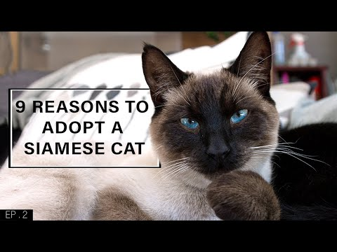 Download 9 Reasons to adopt a Siamese Cat Mp4 HD Video and MP3