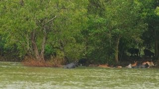 Cows Swimming in Cauvery River
