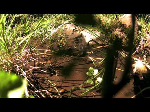 オオシオカラトンボの産卵