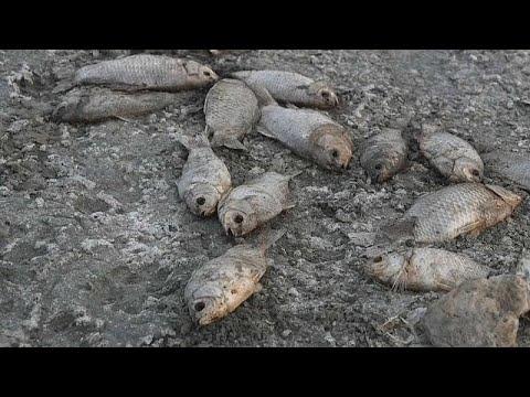 العرب اليوم - شاهد: الجفاف يتسبب بنفوق عشرات الآلاف من الأسماك في بحيرة باليونان