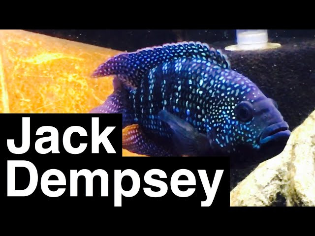 Jack Dempsey Fish Facts - Growth & Tank Size