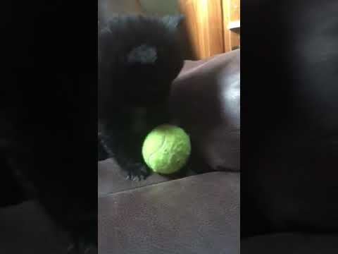 Black Pomeranian female loves to play from letter of six