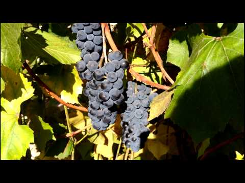 Изабелла – столово-технический сорт винограда