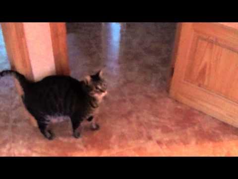 Mi gato persiguiendo una pelota que rebota